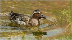 Drake Garganey. (Jeremy Eyeons) Tags: anasquerquedula garganey duck norfolk pensthorpe wildfowl drake