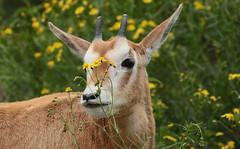 Algazel Artis JN6A7124 (j.a.kok) Tags: algazel antilope animal herbivore artis mammal zoogdier dier scimitar oryx scimitarhornedoryx saharaoryx sabelantilope sabeloryx africa afrika