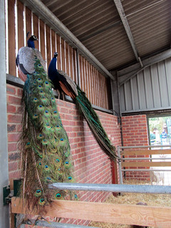 Peacocks - Tropical Butterfly House Wildlife And Falconry Centre 2018