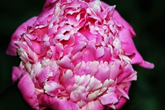 6Q3A3160 (www.ilkkajukarainen.fi) Tags: peony pionia flower pink pinkki kukka pakila siirtolapuutarha colour bright suomi finland eu europa scandinavia finlande helsinki happy life visit travel traveling 2018