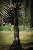 shoe lace sciography (Sandeep_Govindan) Tags: sciography coconut tree