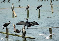 Une Mouette chez les Cormorans (jean-daniel david) Tags: oiseau oiseaudeau cormoran mouette lac lacdeneuchâtel réservenaturelle reflet eau piquet perchoir bois suisse suisseromande vaud yverdonlesbains noir blanc bleu volatile