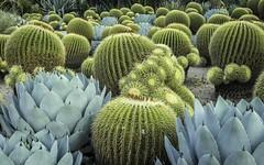 Prickly! (Margan Zajdowicz) Tags: cactus plant garden desert prickly huntingtonbotanicalgardens