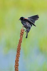 Windy Out Here (dngovoni) Tags: action background bird bombayhook delaware flight redwingedblackbird wildlife smyrna unitedstates us