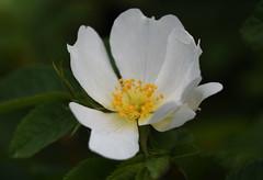 DSC_0063 (PeaTJay) Tags: nikond750 sigma reading lowerearley berkshire macro micro closeups gardens outdoors nature flora fauna plants flowers
