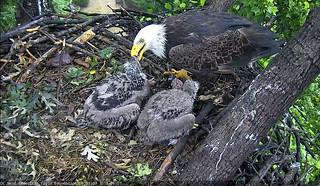 DC eagles enjoy an early morning breakfast.