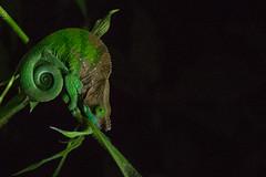 chameleon (Lie's Foto Studio 2.0) Tags: madagascar ranomafana nationalparks outdoor chameleon animals green night camouflage amphibian nature colourful colour