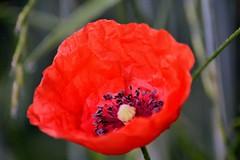 Poppy (PinoyFri) Tags: poppy klatschmohn makro macro red nahaufnahme cocyelicots mohnblume