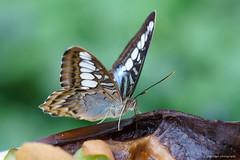 Blue Clipper (dpsager) Tags: blueclipper butterflies butterfly chicago dpsagerphotography judyistockbutterflyhaven metabones peggynotebaertnaturemuseum bbflowers 1025fav