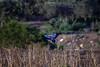 European roller (iosif.michael) Tags: nikon tamron wildlife birds biodiversity ecosystem nature naturallight outdoor flight european roller