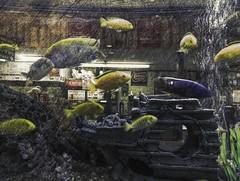 Awkward Glances (delmarvajim) Tags: digitalart digitalprocessing digitaleffects fineart aquarium fish light shadow reflection texture drama