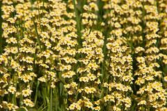 Sexbys Garden @ SE15 (Adam Swaine) Tags: flora flowers gardens peckhamryepark flower naturelovers nature summer seasons england english britain british london londonparks thebestyellow petals beautiful