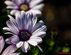Garden Flower 2 (red.richard) Tags: garden flower petals bokeh