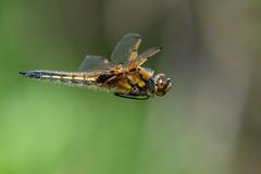 Four-spotted Chaser (Gareth Keevil) Tags: dragonfly eastyorkshire fourspottedchaser garethkeevil goolebrickponds humber humberhead nikon nikond500 oakhillnaturereserve spring sunshine telephoto uk yorkshire
