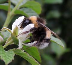 Making blackberries EXPLORED! (Shahrazad26) Tags: blackberries brombeeren mûres bramen hommel streekmuseumdelocht melderslo limburg nederland holland thenetherlands paysbas bourdon humblebee hummel