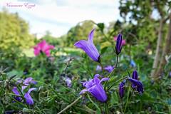 Campanule (Ezzo33) Tags: france gironde nouvelleaquitaine bordeaux ezzo33 nammour ezzat sony rx10m3 parc jardin fleur fleurs flower flowers mauve rose pink rouge red bleu blue blanche white