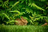 Afternoon Nap (flashfix) Tags: june062018 2018inphotos ottawa ontario canada nikond7100 55mm300mm bokeh hare rabbit grass tree downtown nature mothernature animal wildlife green plant bushes bunny babyhare babybunny
