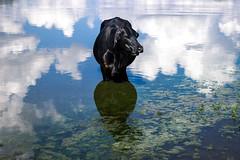 Down Below in the Sky (Olizwell) Tags: cow cloud lake water algae black bovine
