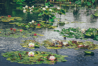 Water-Lily Pond 2018