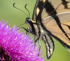 Butterfly close-up (MTEBG99) Tags: butterfly butterflies insect insects closeup macro flower flowers canon 80d