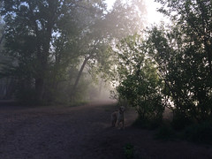 Out of the Mist IMG_6056.explored (iloleo) Tags: dog goldenretriever sherman cherrybeach fog mist morning spring toronto iphone nature