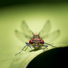 Grrr! (roseysnapper) Tags: large red damselfly lauriston castle nikkor 105mm micro f28 nikon d810 pyrrhosoma nymphula edinburgh scotland bug insect wildlife macro