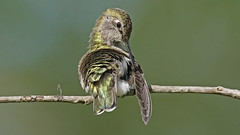 Anna Hummingbird Preening (photosauraus rex) Tags: hummer hummingbird anna vancouver bc canada