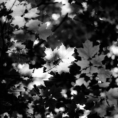 Up Through Trees 045 (noahbw) Tags: d5000 dof nikon ryersonwoodsforestpreserve abstract blackwhite blackandwhite blur bokeh branches bw depthoffield forest leaves light monochrome natural noahbw shadow spring square sunlight trees woods