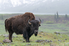 Bison Cow in Rain (Wisconsin Fox) Tags: buffalo bison yellowstone nature wildlife rain nationalparks horns cow calfs d850 nikon