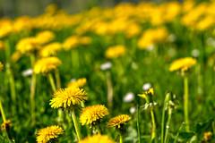 Dandelion (enneafive) Tags: dandelion yellow green nature flowers field bucolic fujifilm xt2 paardenbloem