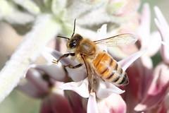Honeybee on Showy Milkweed, Asclepias speciosa (jlcummins - Washington State) Tags: showymilkweed bee fantasticnature home flora flower insect yakimacounty washingtonstate