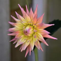 "Semi Cactus Dahlia  ""Grenidor Pastelle"" (sheffielder3) Tags: grenidorpastelle cactusdahlias dahlias beautifulgardens gardens"