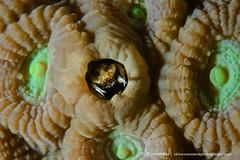 Gall crabs - Marine Crabs of Okinawa (Okinawa Nature Photography) Tags: gallcrabsofokinawa crabsofokinawajapan crustaceans scubadivingwiththemarinelifeofokinawa scubadivingwithoceancritters maedamisaki photosatmaedapoint divingatmaedapoint okinawanaturephotography conservationphotographybyshawnmiller wildlifeofokinawa nauticamokinawa light motion sola 3800seaandsea strobe coraldwellinggallcrabscryptochiridae gallcrabsoftheryukyuislands crabsandcoralbyshawnmiller idhelp nikond500600mmf28underwater coralmoderatorsbyshawnmiller lightandmotionexplorerandambassador