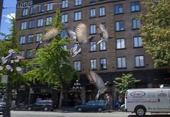 Where's Our Pigeon Camera (Clayton Perry Photoworks) Tags: vancouver bc canada explorebc explorecanada spring dtes city street pigeon