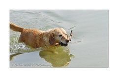 _MG_9326 (corinneguegan) Tags: dogsandcats dogs catsdogs canins chiens labrador