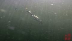 Common Loon (Gavia immer) (DragonSpeed) Tags: britishcolumbia clearwater commonloon deubelake gaviaimmer greatnortherndiver moosecampfishingresort northernloon troutfishing bird fishthief fishing