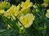 Group of Yellow Lilies (BKHagar *Kim*) Tags: bkhagar flower flowers yellow lily lilies nature yard outdoor garden tanner al alabama momdads moms