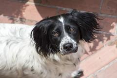 My Dog (Bulda9) Tags: animals beautiful cute dog eyes pet pets 300mm canon may spring huntdog outside face puppy petlover mypet summer doglife garden instadog ef75300mm