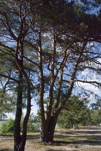 Шацький Національний Природний Парк Озеро Пісочне Сосни InterNetri  Ukraine 358