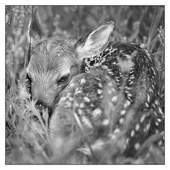 First Baby of the Season - B&W Edition (GAPHIKER) Tags: deer fawn baby front yard blairstown newjersey grass blue eyes wildlife