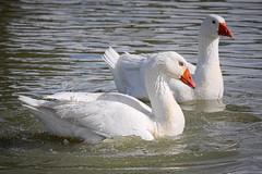 Blue eyes in the water (Arranion) Tags: duck eos 40d canon bird water droplets drops blue eye eyes beak dam 70200mm f4
