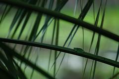 DSC00699.jpg (joe.spandrusyszyn) Tags: americangreentreefrog unitedstatesofamerica hylidae florida paynespraire vertebrate anura byjoespandrusyszyn amphibian frog hylacinerea hyla gainesville nature animal