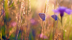 In a field of gold (ej - light spectrum) Tags: butterfly schmetterling sommer summer field gold sunlight sonnenlicht blumenwiese blumen flowers olympus omd em5markii mzuiko macro makro backlight schweiz switzerland svizzera m60mmf28macro summerbird sommervogel butterflies 蝶 蝴蝶 papillon farfalla פרפר הקיץ
