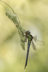 Glassnijder - Hairy Dragonfly (KarsKW) Tags: macro karskw glassnijder hairy dragonfly