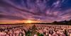 Howling Hyacinths. (Alex-de-Haas) Tags: 11mm adobe blackstone d850 dutch hdr holland irix irix11mm irixblackstone lightroom nederland nederlands netherlands nikon nikond850 noordholland photomatix asparagaceae beautiful beauty bloem bloemen bloementeelt bloemenvelden cirrus floriculture flower flowerfields flowers hyacint hyacinten hyacinth hyacinths hyacinthus hyacinthusorientalis landscape landschaft landschap lente lucht mooi polder skies sky spring sun sundown sunset zonsondergang