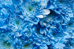 flores azules. Blue flowers (inma F) Tags: color colores flor mayo arcoiris flower colour ras