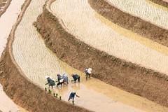 _J5K0884.0617.Lao Chải.Mù Cang Chải.Yên Bái (hoanglongphoto) Tags: asia asian vietnam northvietnam northwestvietnam landscape scenery vietnamlandscape vietnamscenery terraces terracedfields transplantingseason sowingseeds hillside people landscapewithpeople canon canoneos1dsmarkiii hdr tâybắc yênbái mùcangchải phongcảnh ruộngbậcthang ruộngbậcthangmùcangchải mùacấy đổnước người phongcảnhcóngười sườnđồi mùcangchảimùacấy canonef70200mmf28lisiiusm ricceterracedinvietnam terracedfieldsinvietnam thehmong ngườihmông abstrat curve trừutượng đườngcong laochải