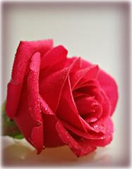 Smile on Saturday: Rose is a Rose (dominotic) Tags: smileonsaturday roseisarose flower rose pinkrose waterdrops wetrose macro sydney australia