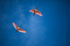 Cuba - Playa Larga - Spatula birds flying over Salinas de Brito (Cyrielle Beaubois) Tags: 2016 cuba cyriellebeaubois décembre travel explore wanderlust wander salinasdebrito playalarga bird nature naturalreserve flying spatula december pink canoneos5dmarkii canonef70200mmf40lusm birdwatching ornithology bluesky travelphotography discover