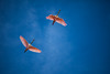 [Cuba - Playa Larga] Spatula birds flying over Salinas de Brito (Cyrielle Beaubois) Tags: 2016 cuba cyriellebeaubois décembre travel explore wanderlust wander salinasdebrito playalarga bird nature naturalreserve flying spatula december pink canoneos5dmarkii canonef70200mmf40lusm birdwatching ornithology bluesky